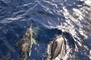 azoren-delphine